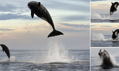 Eight-ton orca leaps 15ft into the air to finally capture