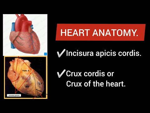 The branches of the ascending aorta (heart circulation