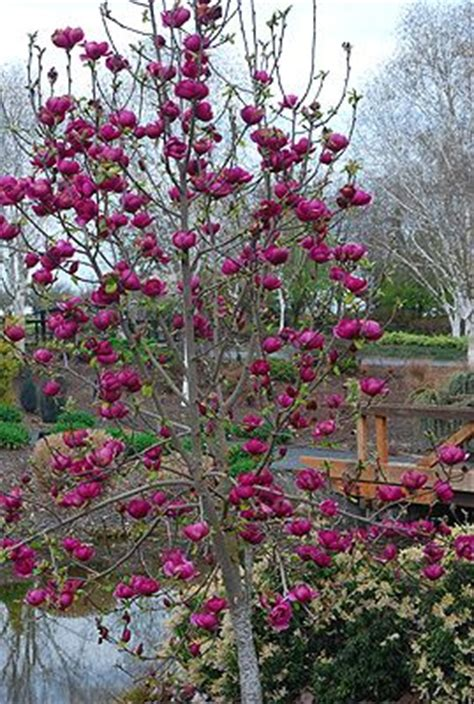 1000+ images about Magnolia on Pinterest | Gardens, Early