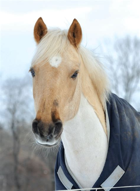 Blanketing a Trace-Clipped Horse - Expert advice on horse