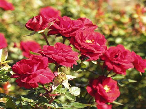 Information About Roses Flower : Wallpapers13