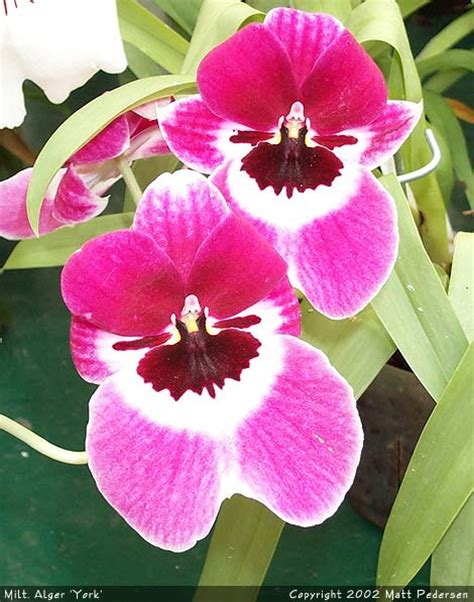 Orchid Photo Galleries - Miltonia, Miltoniopsis, and their