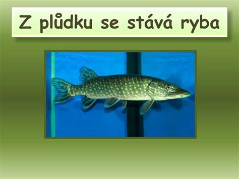 PPT - RYBY PowerPoint Presentation - ID:5009158
